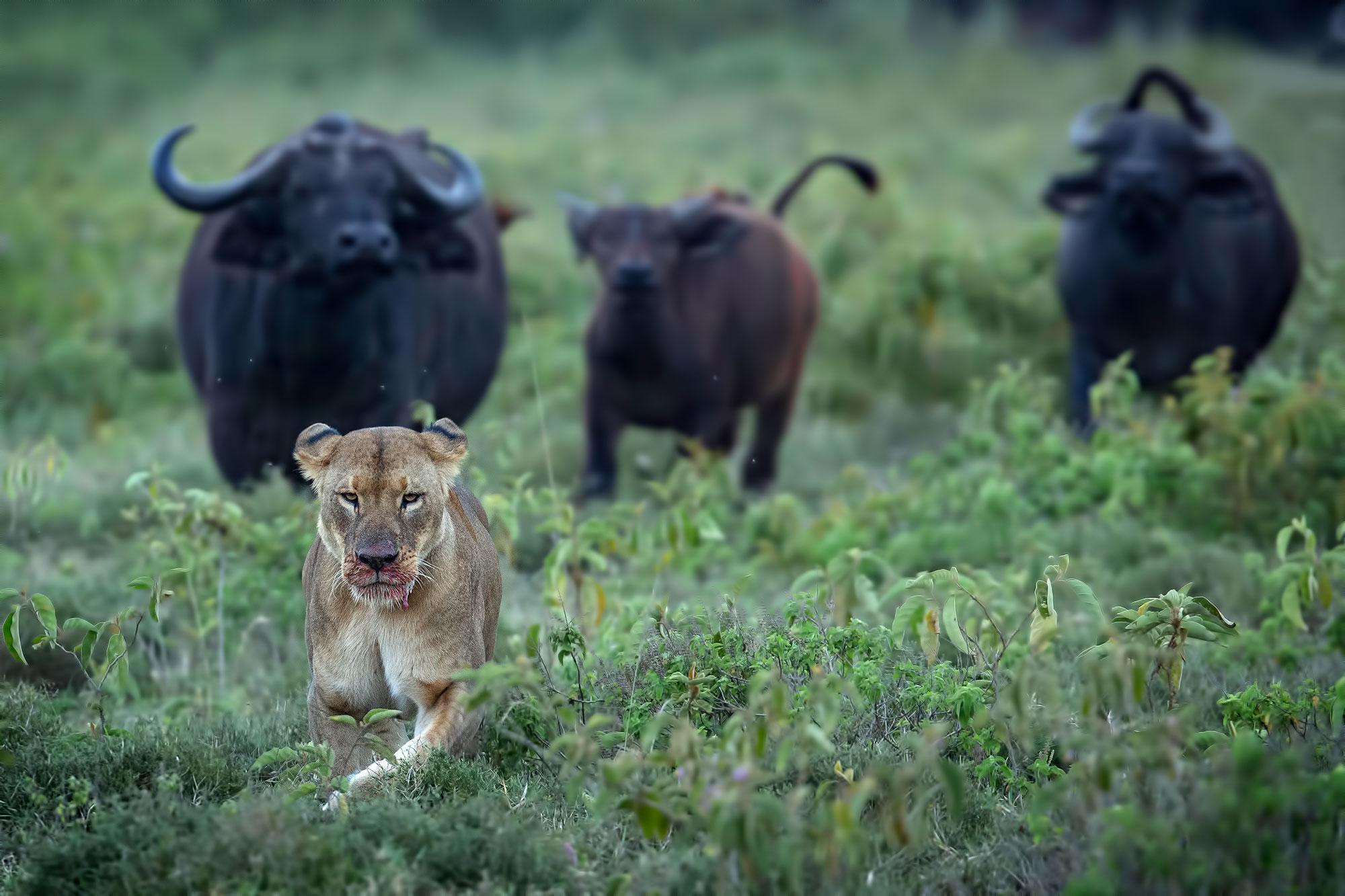 Dietro lo scatto: una leonessa in fuga